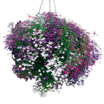 Lobelia Trailing Plants - Cascade Mix
