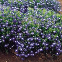 Lobelia Seeds - Mrs. Clibran, Improved