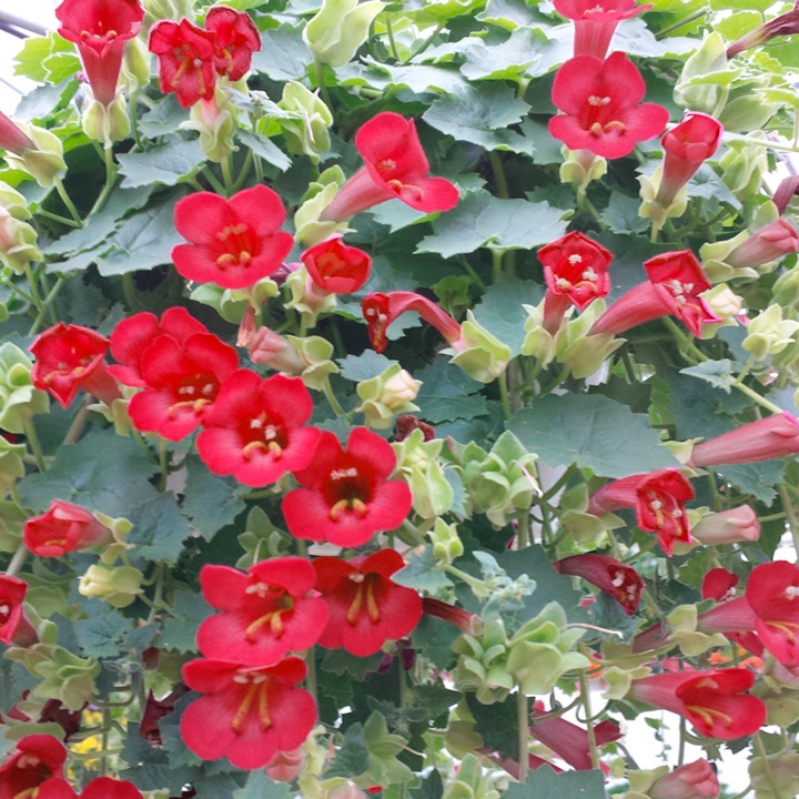 Lofos Plant - Wine Red