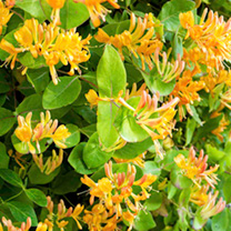 Lonicera henryii Plant - Copper Beauty