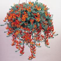 Lotus Plants - Fire Vine