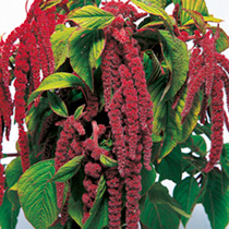 Amaranthus Seeds - Crimson