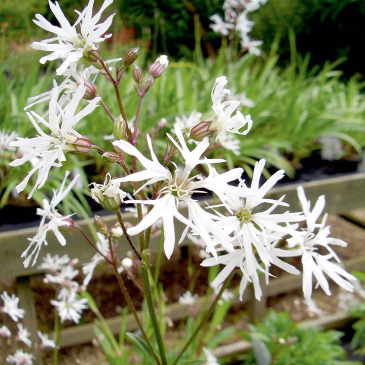 Lychnis Plant - White Robin
