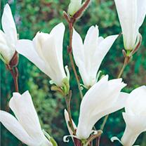 Magnolia Plant - Wada Memory
