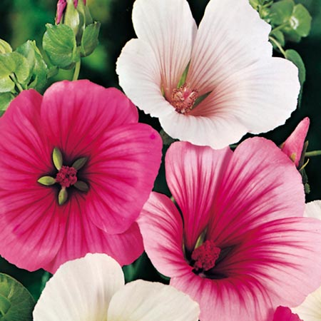 Malope Seeds - Strawberries & Cream Mixed