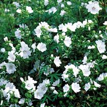 Malva Moschata Alba Seeds