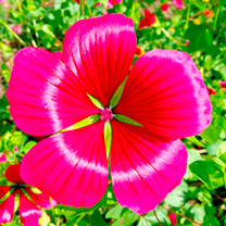 Malope Seeds - Vulcan Mixed