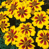 Marigold (Dwarf French) Seeds - Naughty Marietta