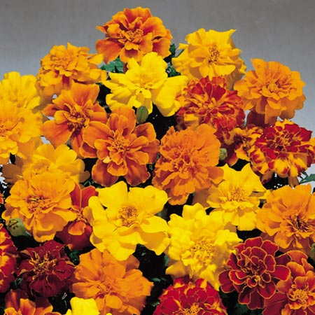in March Flowers to Plant Marigold  Dwarf French  Seeds - Safari MixedFrench Marigold Dwarf