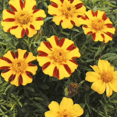 in May Flowers to Plant Marigold  Dwarf French  Single Pinwheel SeedsFrench Marigold Dwarf