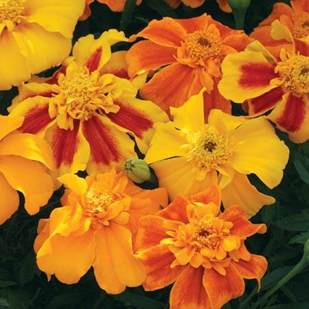 Marigold (Afro-French) Seeds - Sunburst Mixed F1