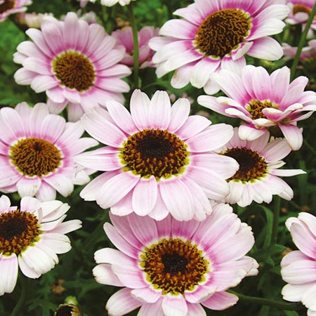 Marguerite Plant - Reflection Pink