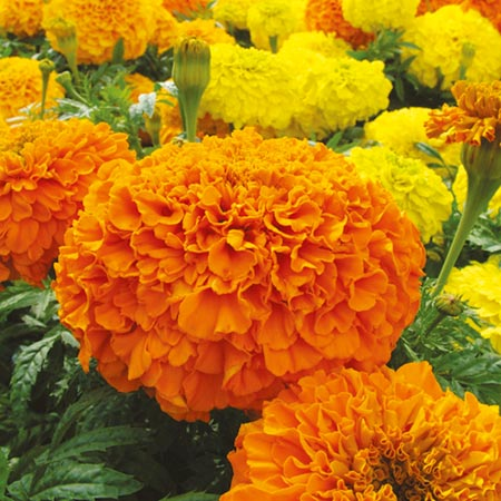Marigold African Plants - Sunspot Mix