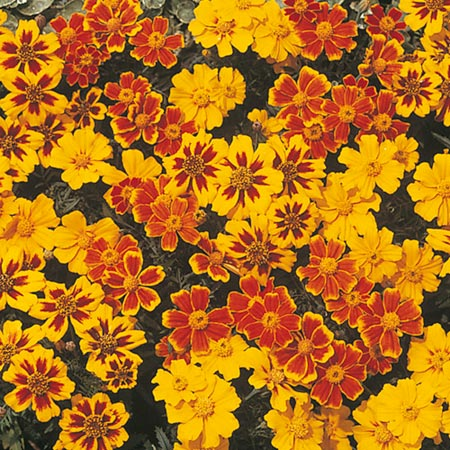 in February Flowers to Plant Marigold  Dwarf French  Seeds - DiscoFrench Marigold Dwarf