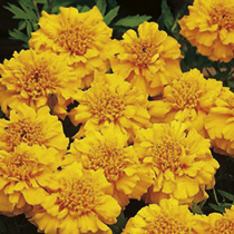 Marigold (Afro-French) Seeds - Zenith ORANGE F1