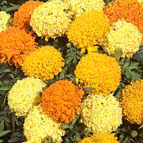 Marigold (African) Seeds - Puff Series Mixed