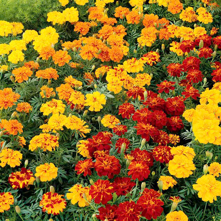 Flower Seeds K to M Marigold  Dwarf French  Seeds - Fireball MixedFrench Marigold Dwarf