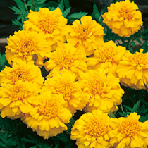 Marigold (Afro-French) Seeds - Zenith YELLOW F1
