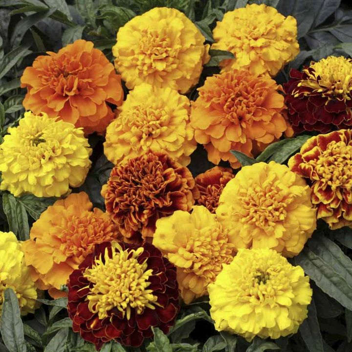 Marigold (French) Seeds - Cresta Mixed