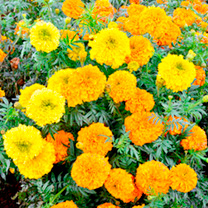Marigold Plants - Kushi Mix