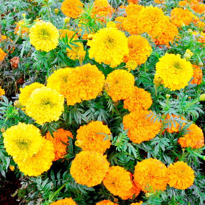how to take seeds from marigolds