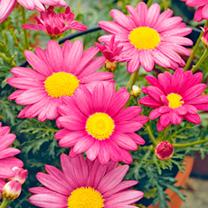 Marguerite Plant - Mini Standard Pink