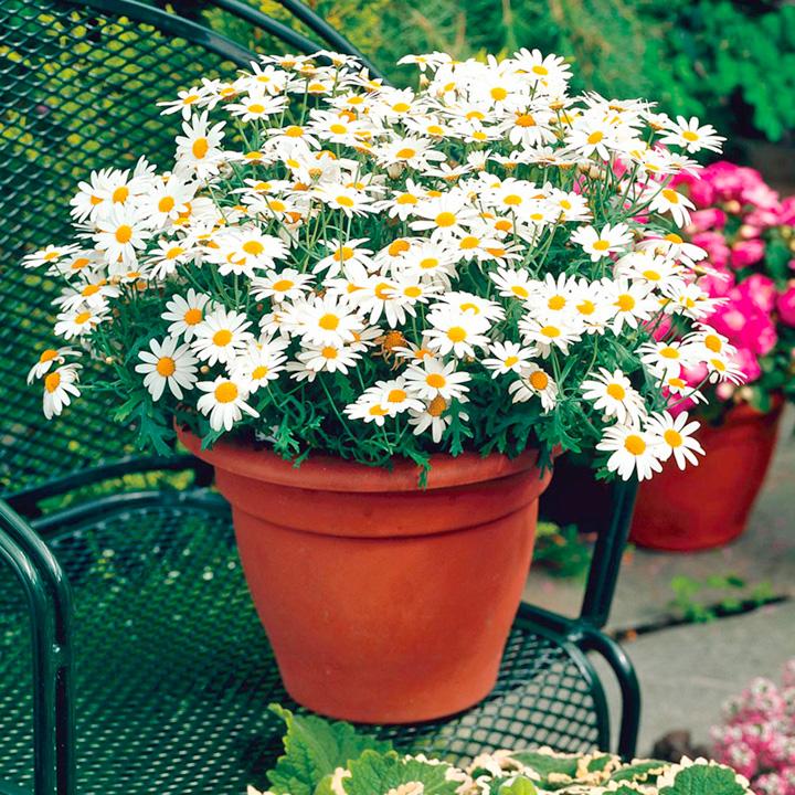 Marguerite Plant - White