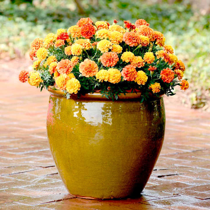 Marigold French Seeds - Strawberry Blonde