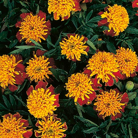 February Flowers to Plant Marigold  Dwarf French  Seeds - Tiger EyesFrench Marigold Dwarf