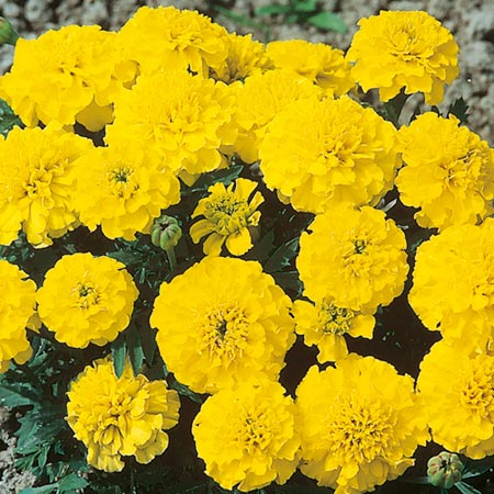 in March Flowers to Plant Marigold  Dwarf French  Seeds - Yellow BoyFrench Marigold Dwarf