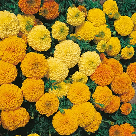 Marigold (African) Seeds - Jubilee Mixed F1