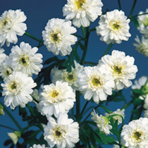 Matricaria Seeds - Snow Puffs