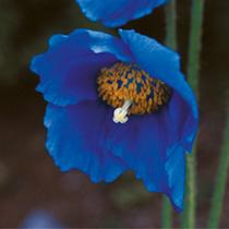Meconopsis Seeds - Lingholm