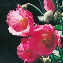 Meconopsis Plant - Napaulensis