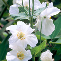 Meconopsis Plant - Alba