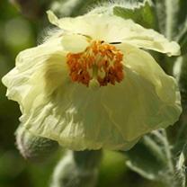 Meconopsis Plant - paniculata
