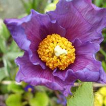 Meconopsis Plant - Hensol Violet