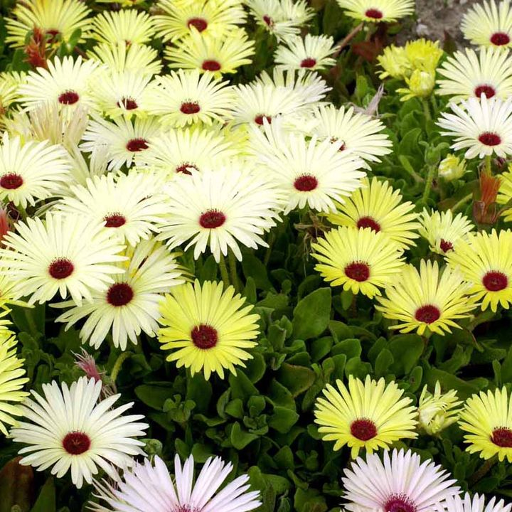 Mesembryanthemum Plants - Lemon Sparkles