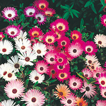 Mesembryanthemum Seeds - Criniflorum