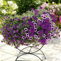 Colour Themed Plants - Perfect Purple Collection
