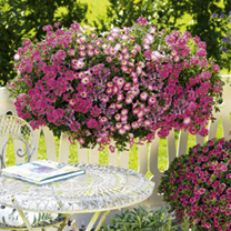 Colour Themed Plants - Pretty in Pink Collection