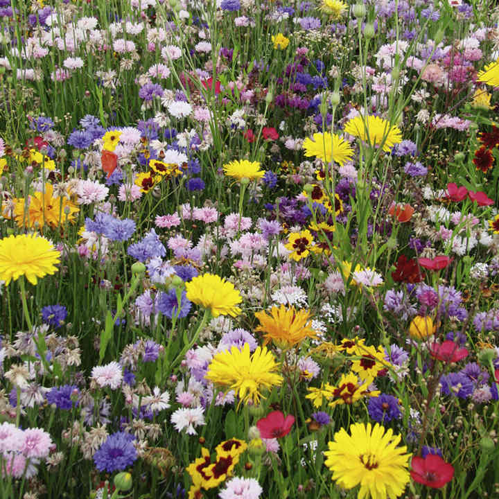 Flowering Mixture Seeds - Perennial Mix