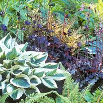 Perennial Ground Cover Plants Collection - LUCKY DIP