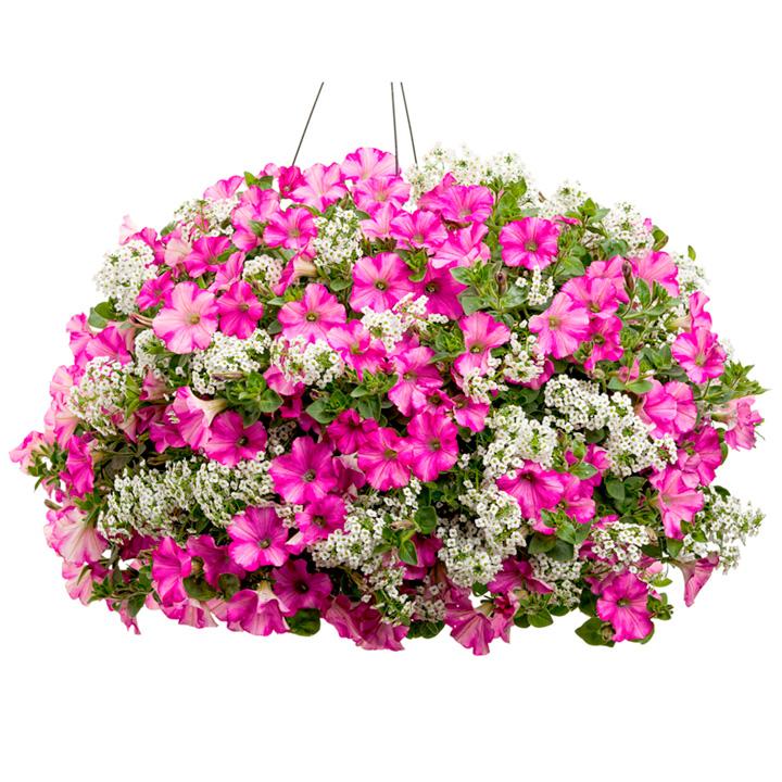 Colour-themed Plant Collection - Princess Charlotte