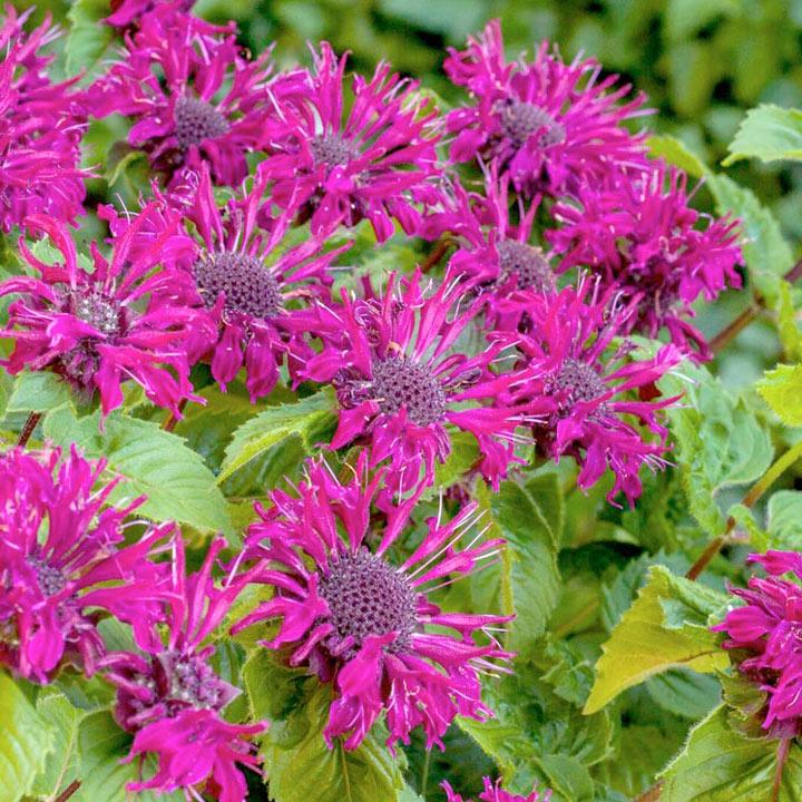 Monarda Plant - Bee True