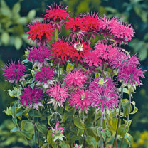 Monarda Seeds - Panorama Mixed