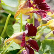 Nasturtium Seeds - Purple Emperor