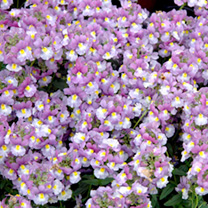 Nemesia Plants - Scented Lady