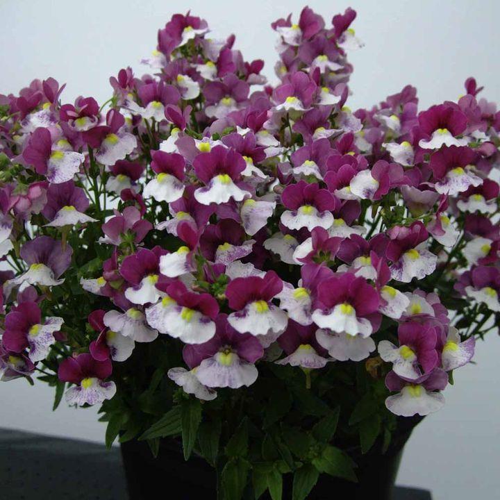 Nemesia Plants - Raspberry & Cream