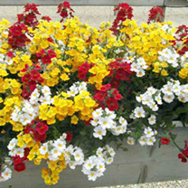 Nemesia Plants - Nemo Mix